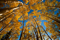 Golden Fall Aspen Trees Reach for the Sky