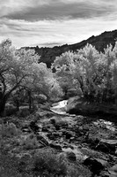 Black and White Fall Cottonwoods